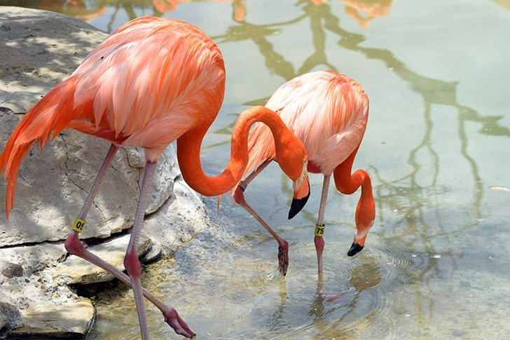 Flamingoes at the Gladys Porter Zoo in Brownsville, TX.