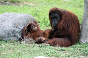 Mama and baby orangutan at the Gladys Porter Zoo in Brownsville, TX.