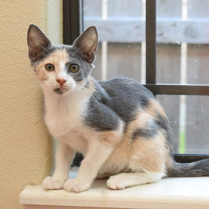 Baby Maybelline is a 3 month old baby calico kitty adopted from a cat rescue group in the Rio Grand Valley area of South Texas.