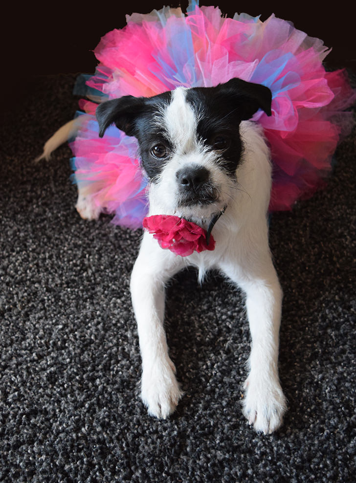 Want to make a super full tutu? Whether it's for a dog or a human (haha!) get the tutorial to make gorgeously full tutu skirts!