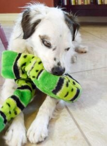 Dog toys can be so expensive! Learn how to patch up old dog toys and how to bring them back to life without stuffing for dogs with a destructive playing style.