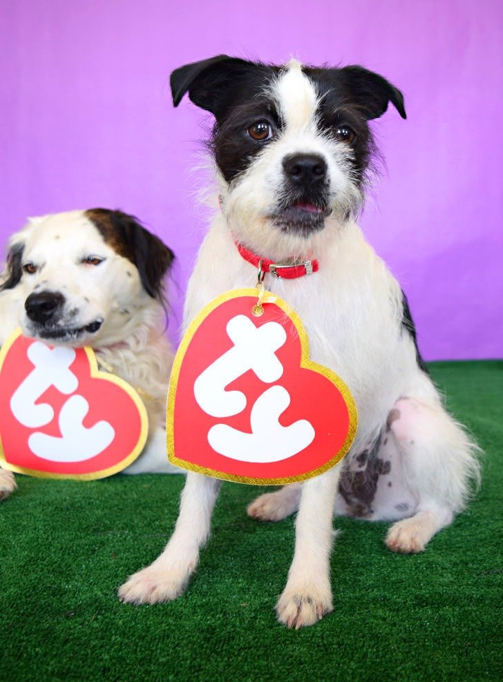 This Ty Beanie Baby swing tag costume is easy to make and adorable on pets but can also be a great costume for their humans, too. I'm loving this for the Howloween Pet Parade!