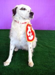 This Ty Beanie Baby costume is easy to make and an adorable on pets but and their humans, too. Get the free SVG for this cheap and adorable DIY costume.