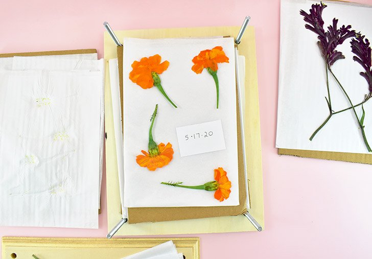 Now you will need to replace all of the thin paper. As you handle it you'll notice it can get quite damp, soaking up the moisture away from the flower as it is pressed out.