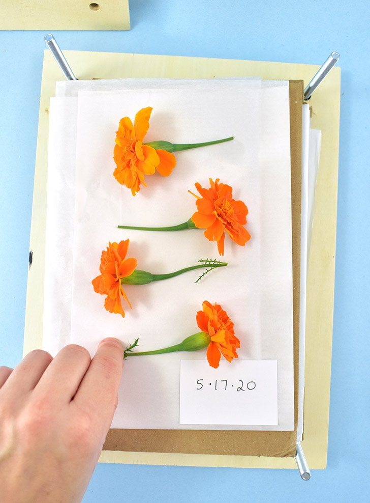 Continue adding layers of flowers to press sandwiched in between 2 layers of thin paper.