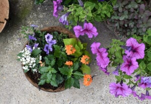 This hanging basket was planted with white pentas, purple petunias, orange marmalade firecracker flowers, and lime green sweet potato vine.
