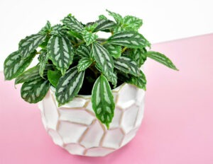 The Aluminum Plant/Watermelon Plant (Pilea cadieri)is a nontoxic pet safe houseplant you can have around your cats and dogs without worry.