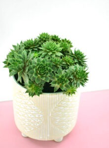 The Hens and Chicks (Echeveria elegans)is a nontoxic pet safe houseplant you can have around your cats and dogs without worry.