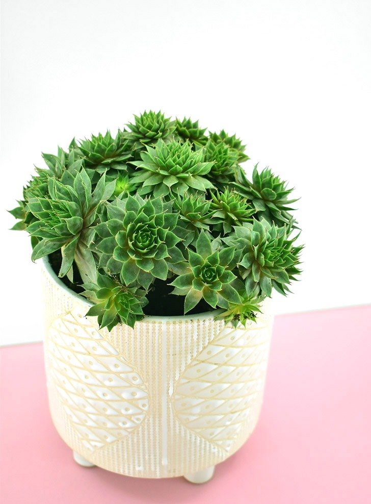 The Hens and Chicks (Echeveria elegans) is a nontoxic pet safe houseplant you can have around your cats and dogs without worry.