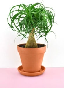 Ponytail Palm (Beaucarnea recurvata) is a nontoxic pet safe houseplant you can have around your cats and dogs without worry.