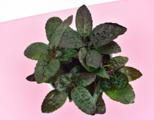 The Purple Waffle Plant (Hemigraphis alternata)is a nontoxic pet safe houseplant you can have around your cats and dogs without worry.