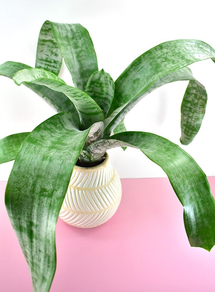 The Urn Plant (Aechmea fasciata) is a nontoxic pet safe houseplant you can have around your cats and dogs without worry.