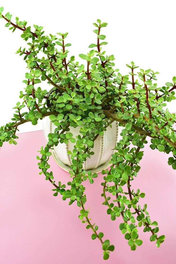 The Elephant Bush/Plant (Portulacaria afra) is a nontoxic pet safe houseplant you can have around your cats and dogs without worry.