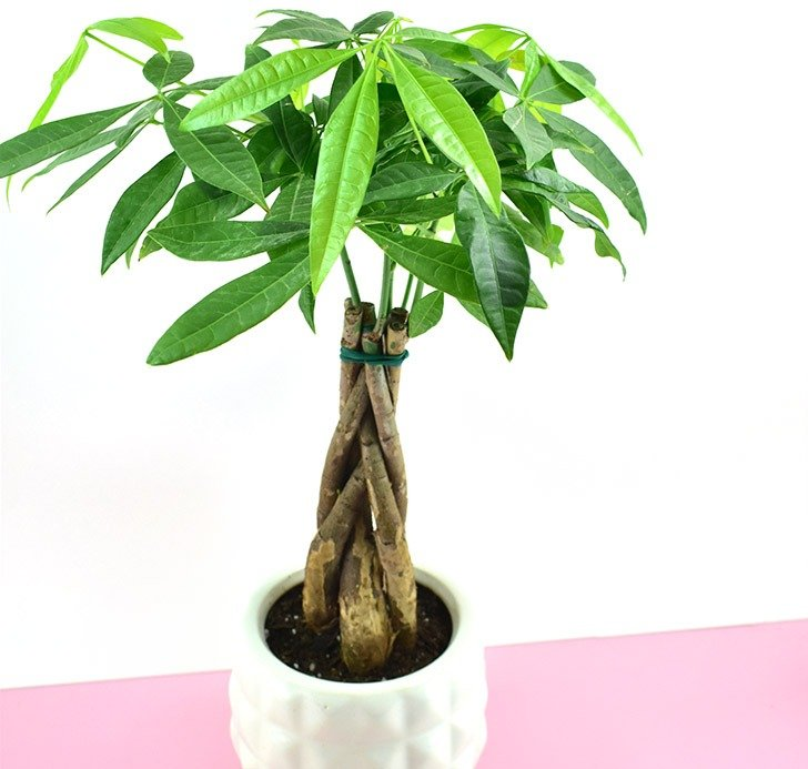 The Money Tree Plant (Pachira aquatica) is a nontoxic pet safe houseplant you can have around your cats and dogs without worry.