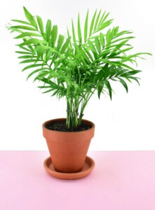 The Parlor Palm (Chamaedorea elegans)is a nontoxic pet safe houseplant you can have around your cats and dogs without worry.