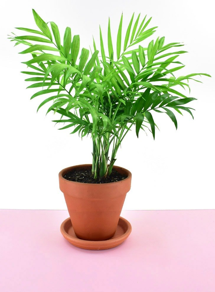 The Parlor Palm (Chamaedorea elegans) is a nontoxic pet safe houseplant you can have around your cats and dogs without worry.