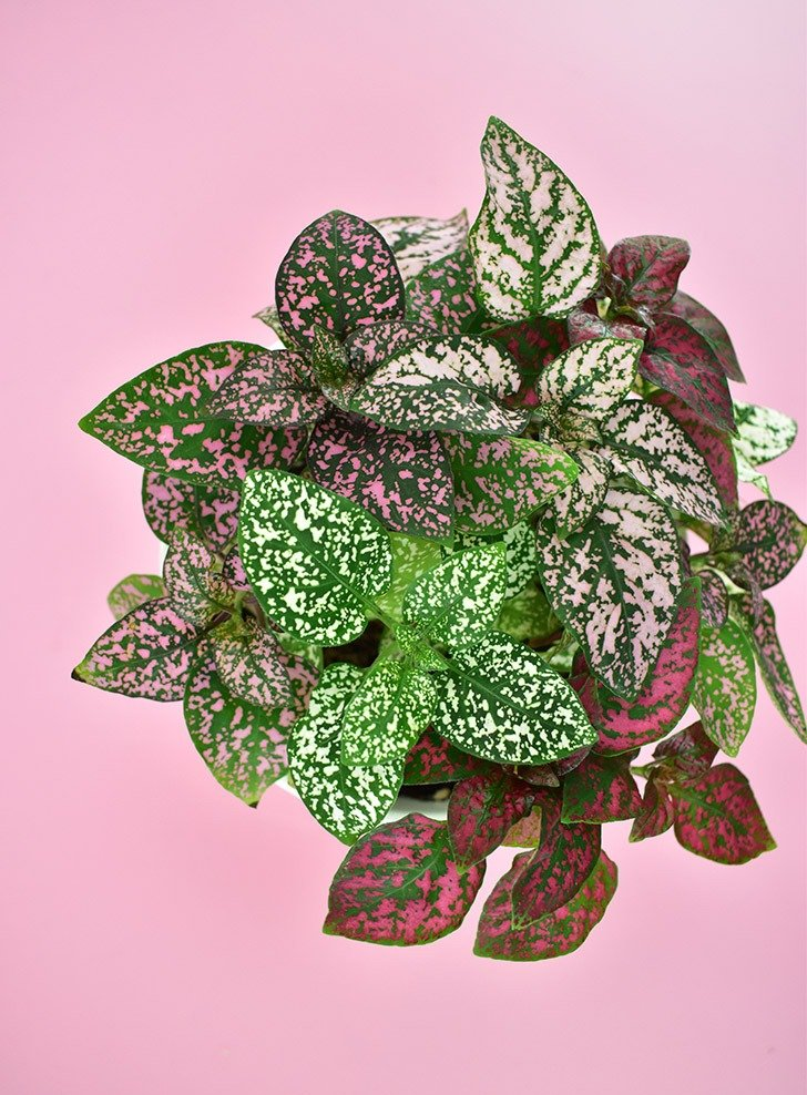 The Polka Dot Plant (Hypoestes phyllostachya) is a nontoxic pet safe houseplant you can have around your cats and dogs without worry.
