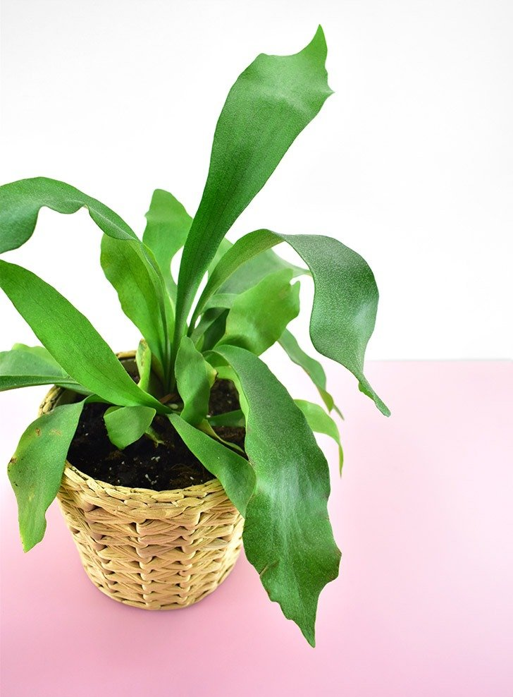 The Staghorn Fern (Platycerium bifurcatum) is a nontoxic pet safe houseplant you can have around your cats and dogs without worry.