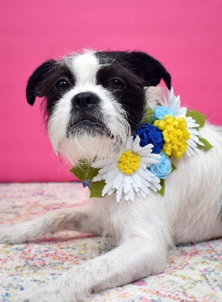 Pretty up a store-bought collar with DIY flowers. It's adorable for any time but especially nice for special occasions!